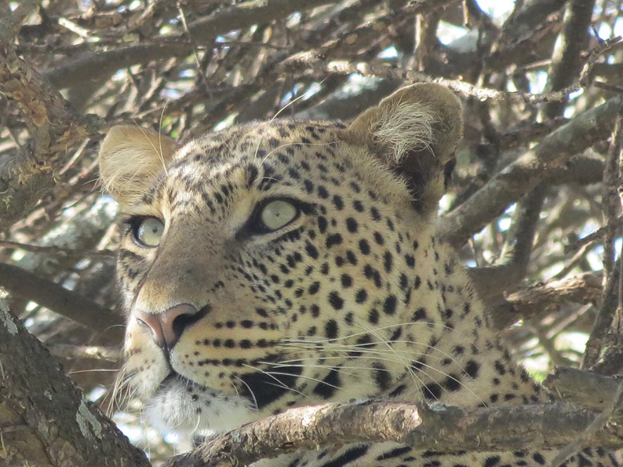 closupleopard
